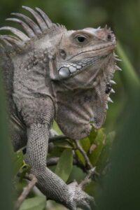 foto de iguana