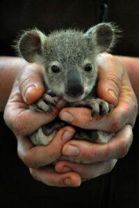 foto de koala