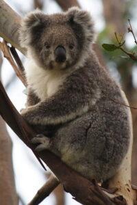 foto de koalas