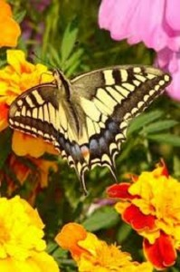 foto de mariposas