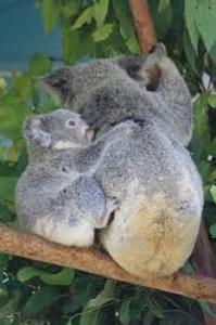 fotos de koala