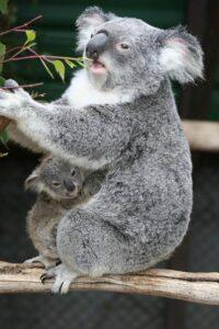 fotos de koalas