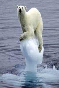 fotos de oso polar