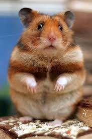imagen de hamsters