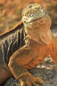 imagen de iguanas