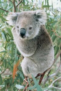 imagen de koala