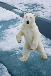 imagen de osos polares