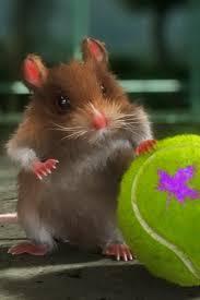imagenes de hamsters
