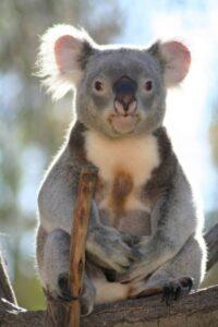 imagenes de koalas