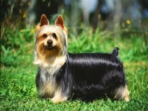 El Australian Silky Terrier