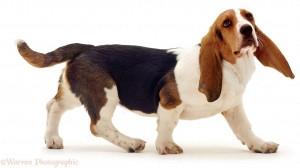 Basset Hound pup Emily walking.
