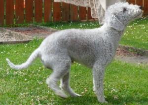 El Bedlington Terrier