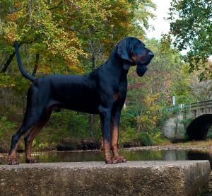 El Black And Tan Coonhound