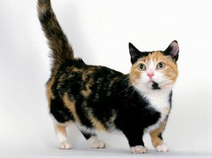 Gato Munchkin