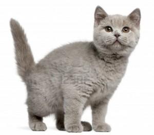 Gatos British Shorthair