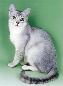 Gatos Burmilla