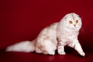 Highland fold cat  on red background