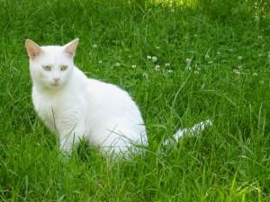 Gatos Van Turco