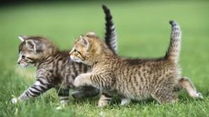 imágenes de dos gatos compitiendo