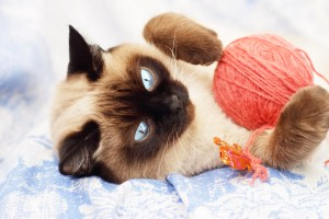 imágenes de un gato siamés jugando con lana