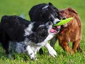 Fotos de perros jugando