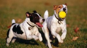 imágenes de dos perros jugando a la pelota
