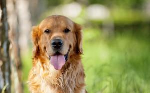 Fotos de un perro con su lengua de fuera