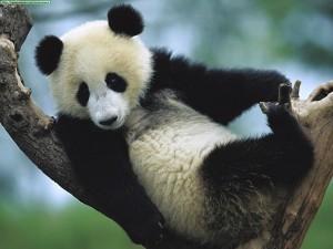 Fotos de un oso panda jugando