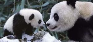Lindo osito panda con su madre