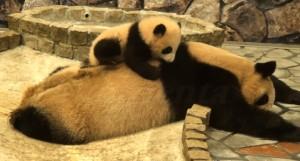 osito panda descansando sobre su madre