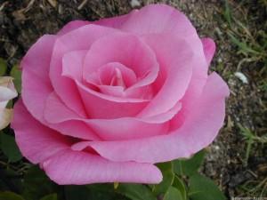 Fotos de una rosa para la mejor abuela
