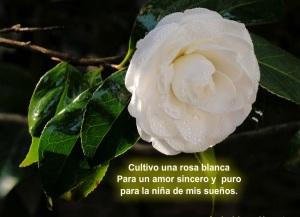imagenes de rosas blancas para facebook