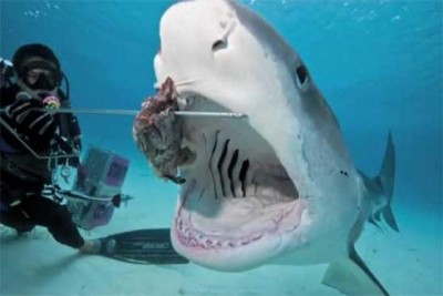 tiburon carnivoro