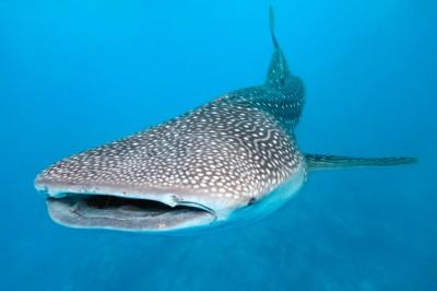 tiburon aleta