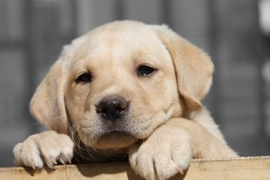 cachorro labrador retriever dorado