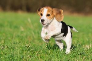perro beagle corriendo