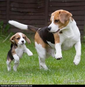 cachorro y adulto de perro beagle