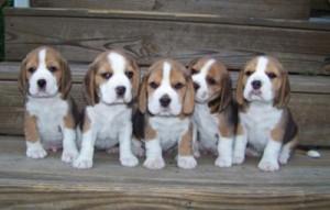 cachorros de perros beagle