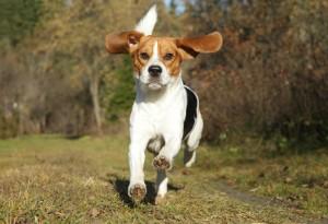 beagle corriendo