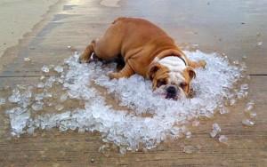 bulldog con calor