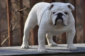 bulldog blanco