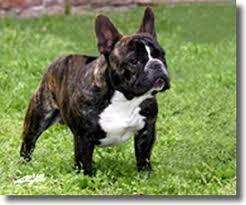 bulldog frances tigriado