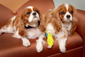 pareja de perros cavalier king