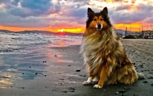 collie en la playa al atardecer