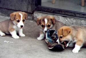 cachorros gorki gales de pembroke