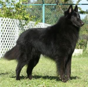pastor belga negro